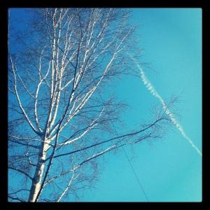 silver birch sky